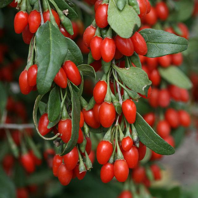 польза годжи ягода