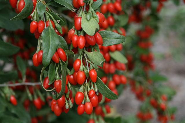 ягоды годжи как принимать джес