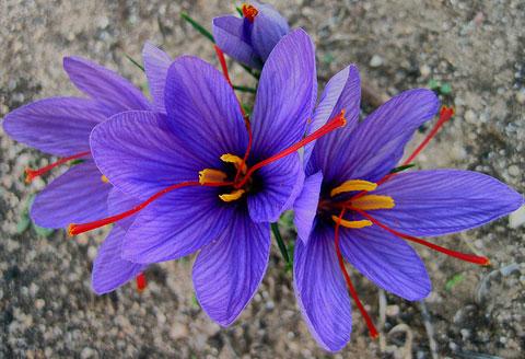 http://deluxe.com.ua/media/img/uploads/image/saffron-flower.jpg