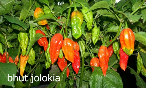 Bhoot Jolokia