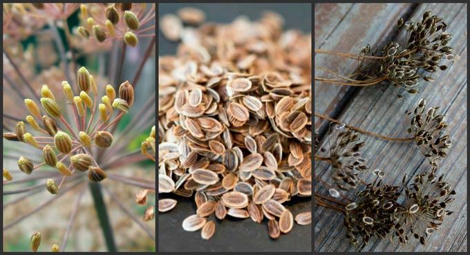 семена укропа от паразитов